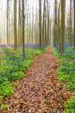 Bluebells Hallerbos Бельгии Стоковое Изображение