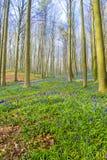 Bluebells Hallerbos Бельгии Стоковое Фото