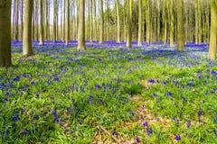 Bluebells Hallerbos Бельгии Стоковое Изображение RF