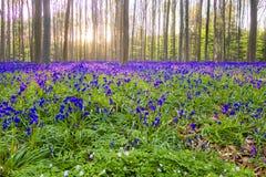 Bluebells Hallerbos Бельгии Стоковые Изображения