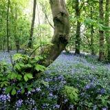 Bluebells/hyacinthoides Bratt woods Nunburnholme East Yorkshire England Royalty Free Stock Photo