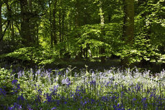 Bluebells i paprocie w Starym Elvendon Crays Drewnianym stawie Fotografia Royalty Free