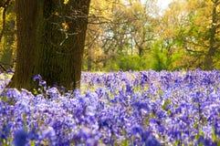 Bluebells im Wald. Stockbilder