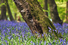 Free Bluebells In A Spring Forest Stock Photo - 14341790
