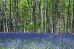 Free Bluebells In Beech Wood Stock Photo - 2332370