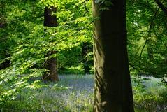 Bluebells lézardant en premier soleil Photographie stock libre de droits