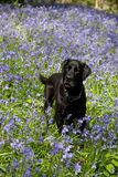 Bluebells and Labrador Stock Image