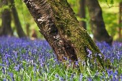 bluebells lasu wiosna Zdjęcie Stock