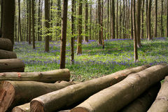 Bluebells late April, Halle's Wood, Belgium. Hallerbos is a beech forest near the town of Halle. Throughout the year it is a haven for walkers, cyclists and Royalty Free Stock Image