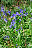 Bluebells late April, Halle's Wood, Belgium Royalty Free Stock Photos