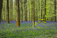 Bluebells late April, Halle's Wood, Belgium. Hallerbos is a beech forest near the town of Halle. Throughout the year it is a haven for walkers, cyclists and stock photography