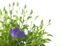 Bluebells - macro of Campanula Royalty Free Stock Photos