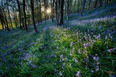 Bluebells at Margam woods Stock Image