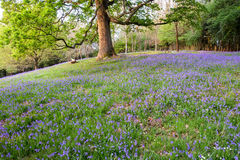 Bluebells and mature trees of an open woodland in spring. Stock Image