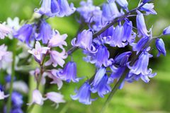 Bluebells Meadow Royalty Free Stock Image