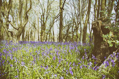 Bluebells in a meadow Stock Images