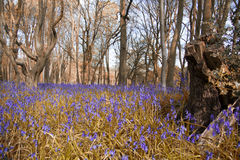 Bluebells in a meadow Stock Photos