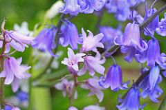 Bluebells meadow Royalty Free Stock Photo