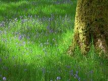 Bluebells nähern sich Staveley Lizenzfreies Stockfoto