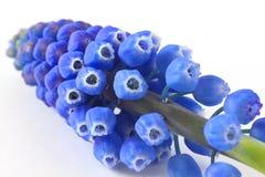 Bluebells na bielu Zdjęcia Stock