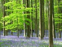 Carpet of Bluebells near Brussels - Hallerbos Belgium Royalty Free Stock Image