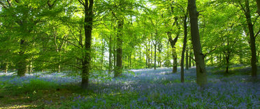 Bluebells nella foresta Fotografia Stock Libera da Diritti