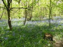 Bluebells nella foresta Fotografie Stock