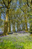 Bluebells in a Northern English wood Stock Photos