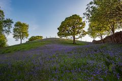 Bluebells and Oak trees under blue skies. Bluebell flowers and an Oak tree near Edmondstown in the Rhondda valley, Wales Stock Photography