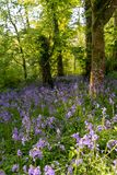 Bluebells odpowiadają w lesie obrazy royalty free