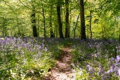 Bluebells odpowiadają w lesie z chodzącą ścieżką w środku zdjęcie stock