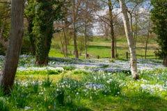 Bluebells odpowiadają z drzewami i ogrodzeniem zdjęcie royalty free