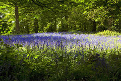 Bluebells in Old Elvendon Wood Crays Pond Royalty Free Stock Photography