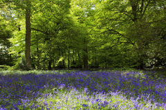 Bluebells in Old Elvendon Wood Crays Pond Royalty Free Stock Images