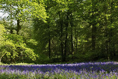 Bluebells in Old Elvendon Wood Crays Pond Stock Image