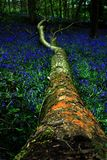 Bluebells In An Old Forest  Stock Image