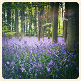 Bluebells old photo Royalty Free Stock Images
