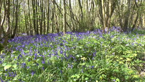 Bluebells Stock Photo