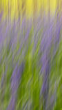 Bluebells panning. On a sunny day in spring stock images