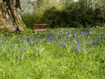 Bluebells in a park with bench. Carpet of bluebells in Springtime in a park royalty free stock image