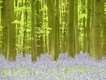 Bluebells in Philipshill Wood, Chorleywood, Hertfordshire, England, UK. This photo was taken in Chorleywood, Hertfordshire, England, UK stock photos