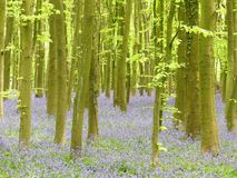 Bluebells in Philipshill Wood, Chorleywood, Hertfordshire, England, UK. This photo was taken in Chorleywood, Hertfordshire, England, UK royalty free stock photo