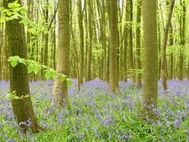 Bluebells in Philipshill Wood, Chorleywood, Hertfordshire, England, UK. This photo was taken in Chorleywood, Hertfordshire, England, UK stock image
