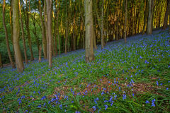 Bluebells of Priory woods. Glorious bluebells among the English woods Stock Photos