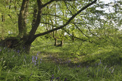 Bluebells in pristine English woodland Stock Photos