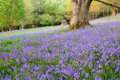 Bluebells provide a dense groundcover in this open woodland Stock Photography