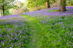Bluebells provide ground cover in this open woodland Royalty Free Stock Images