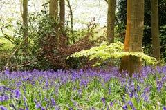 Bluebells r na angielskiej las podłoga zdjęcia stock