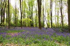 Bluebells r na angielskiej las podłoga zdjęcia royalty free