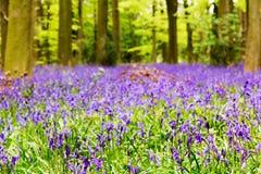 Bluebells r na angielskiej las podłoga zdjęcie stock
